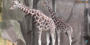 Milwaukee County Zoo Giraffes