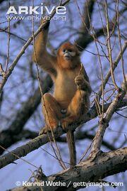Monkey, Golden Snub Nosed