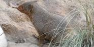 Saint Louis Zoo Dwarf Mongoose
