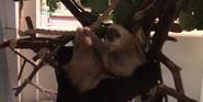 Tampa Safari Sloth