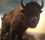 Toledo Zoo Bison