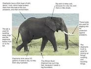 Adaptations of the Elephant