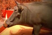 Great Plains Zoo Warthog