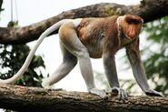 Monkey, Proboscis