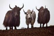 Three Yaks