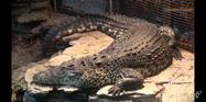 Toledo Zoo Crocodile-02a
