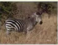 Animal Show Grant's Zebra