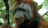 Bornean Orangutan 8.1.2012 hero and circle XL 279107