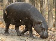 Hippopotamus, Pygmy