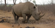 KNP White Rhinoceros