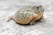 Pet Bullfrogs