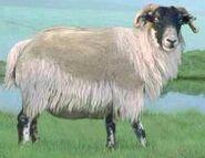 Scottish highland sheep switch zoo