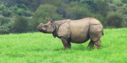 The Wilds Indian Rhino