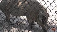 Zoo World Panama Warthog