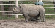 Blank Park Zoo Rhino