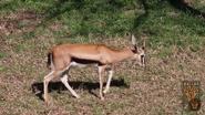 Dallas Zoo Gazelle