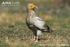 Egyptian-vulture-on-ground