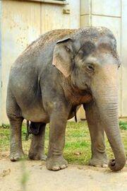 Elephas maximus