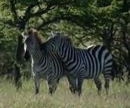 HugoSafari - Zebra03