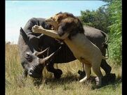 Lion Vs Rhinoceros