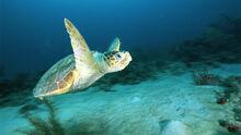 Loggerhead-sea-turtle-swimming-underwater