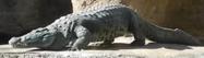 San Antonio Zoo Crocodile