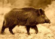 Boar, Wild