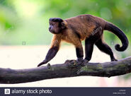 Capuchin, Tufted