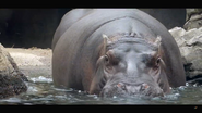 Cincinnati Zoo Hippo (V2)