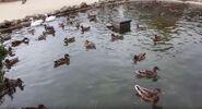 Duck san francisco zoo