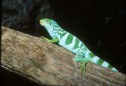 Figi iguana01