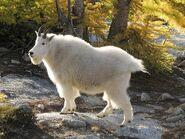 Goat, Mountain