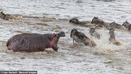Wildebeests and Hippopotamus