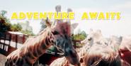 Animal Adventure Park Giraffes