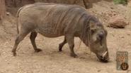 Dallas Zoo Warthog