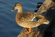 Female mallard duck by endaewen-d5r84af