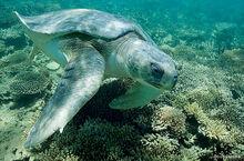 Flatback-turtle-Doug-Perrine-570x375