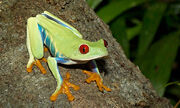 Frog, Red-Eyed Tree