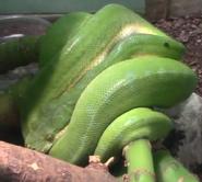 Louisville Zoo Green Tree Python