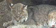 Oklahoma City Zoo Bobcat