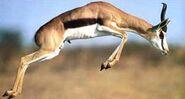 Saut de gazelle Springbok