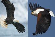 Bald Eagle vs Fish Eagle