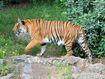 Panthera tigris corbetti 01