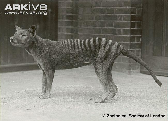 thylacine the parody wiki fandom powered by wikia