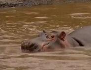 HugoSafari - Hippopotamus14