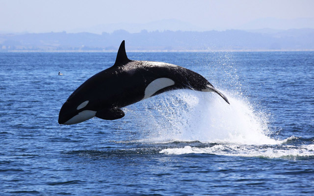 also known as the orca the killer whale orcinus orca is the largest member of the dolphin family and one of the most distinctive of all cetaceans - Picture Of A Whale