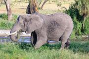 Lions Cheetahs Leopards Rhinoceroses Hippopotamuses Giraffes Elephants Zebras Kudus Camels
