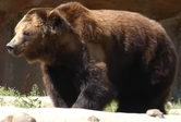 Memphis Zoo Grizzly Bear