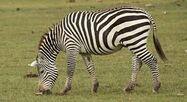 Selous' Zebra