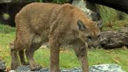 Cincinnati Zoo Cougar